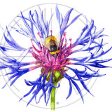 BEE AND KNAPWEED (SOLD - A3 Print available)