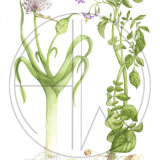 """LEEK AND POTATO (one of four in the 'Soup Series') Original Watercolour £150.  Approx size 15"""" x 10.5"""""""