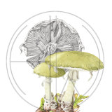 "MUSHROOM DEATHCAP Original Watercolour and Graphite £150.  Approx size 10.5"" x 8.5"""