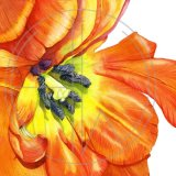 ORANGE TULIP - BIG IS BEAUTIFUL. Original Watercolour £160.  Approx 26cm x 26 cm