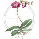 "PHALAENOPSIS ORCHID Original Watercolour £150.  Approx size 14"" x 10"""