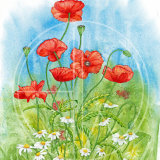 "POPPIES AND DAISIES Original Watercolour £150.  Approx size 19"" x 14"""