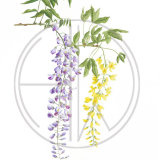 "WISTERIA AND LABURNUM Original Watercolour £150.  Approx size 26"" x 17.5"""