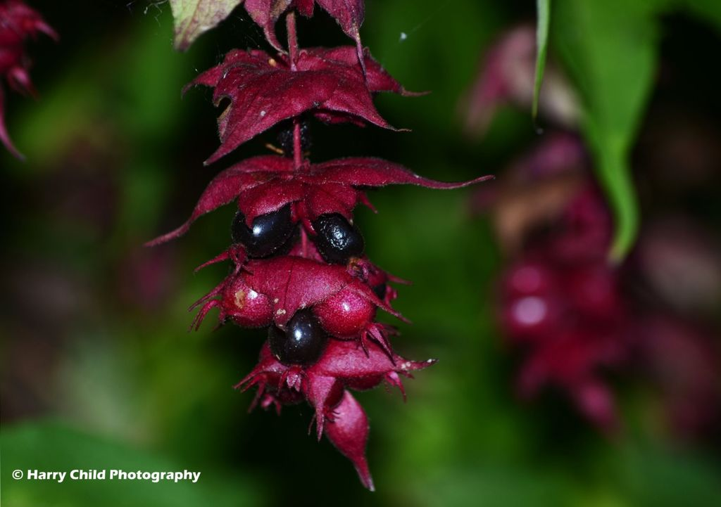 Hanging Berries