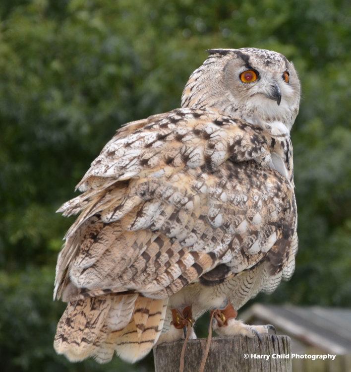 Siberian Eagle Owl 2