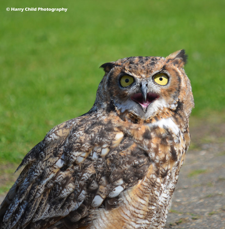 African Spotted Eagle Owl 2