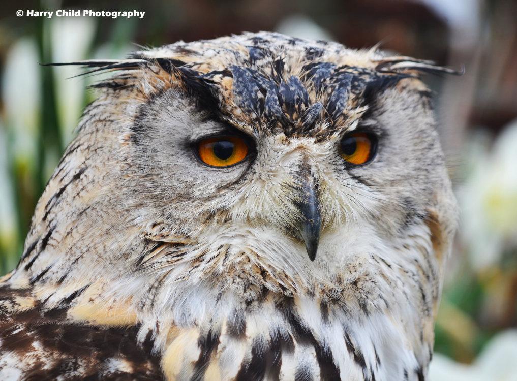 Siberian Eagle Owl 4