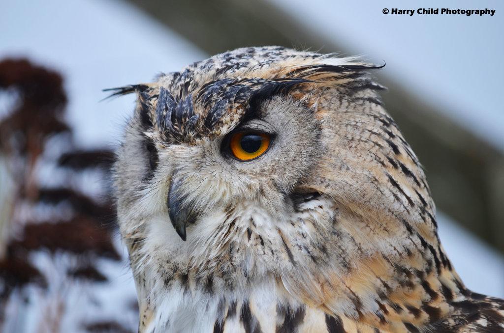 Siberian Eagle Owl 5