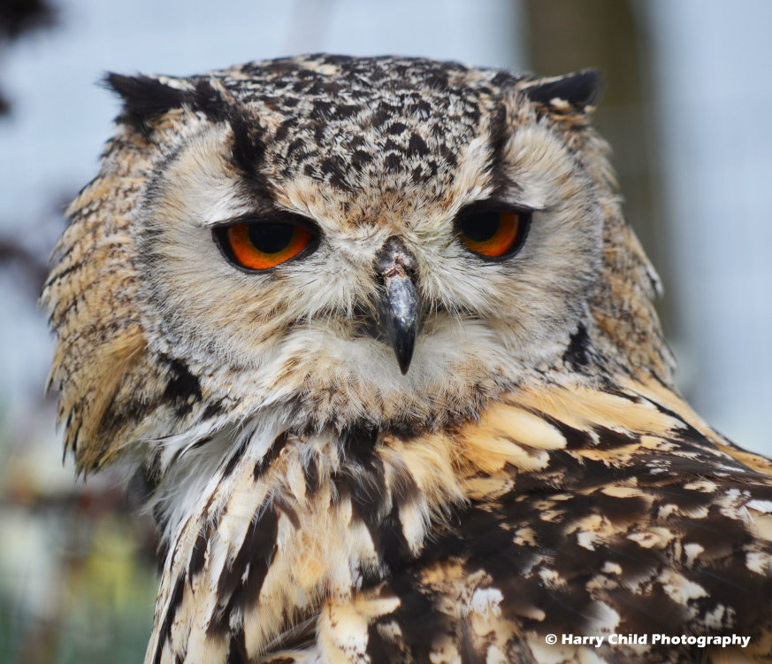 Siberian Eagle Owl 6