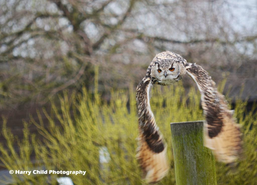 Siberian Eagle Owl 9