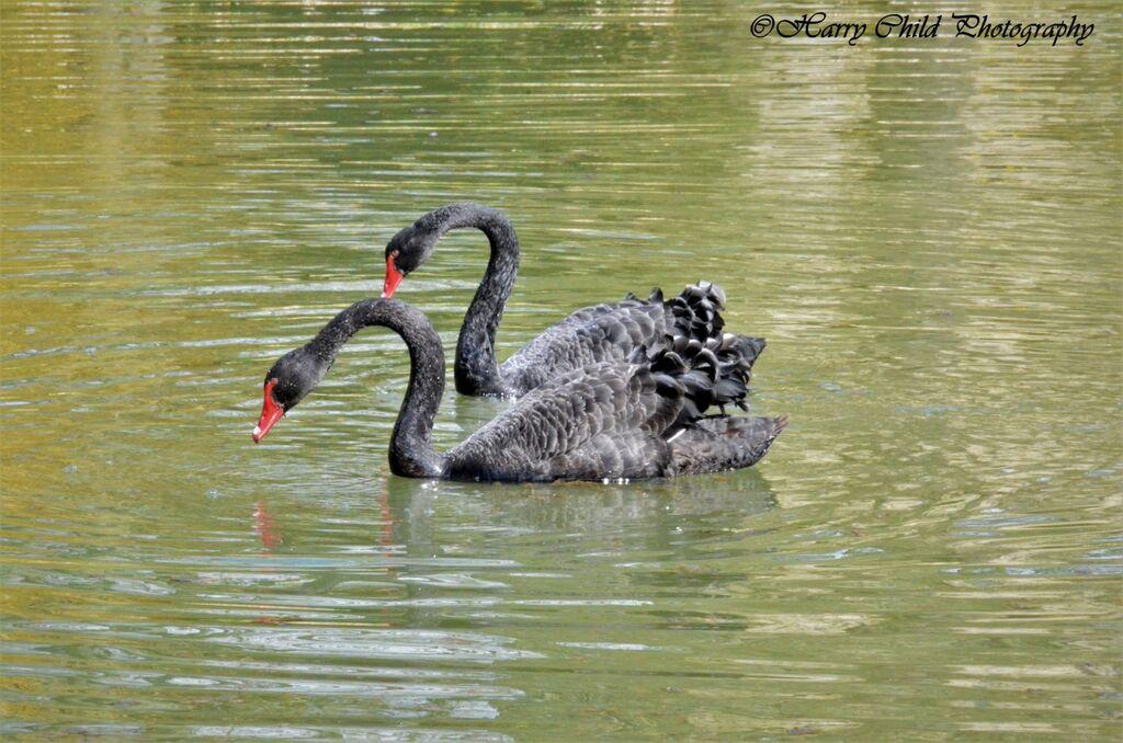 Black Swan Duet