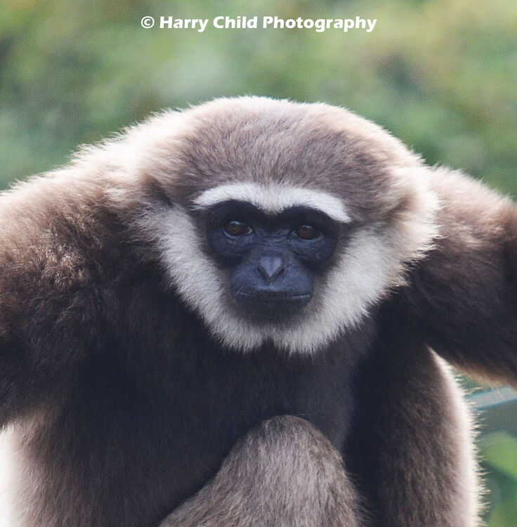 Colobine Monkey