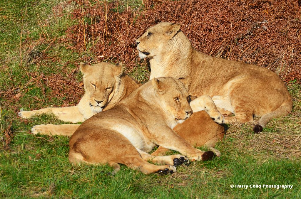 Lioness Group