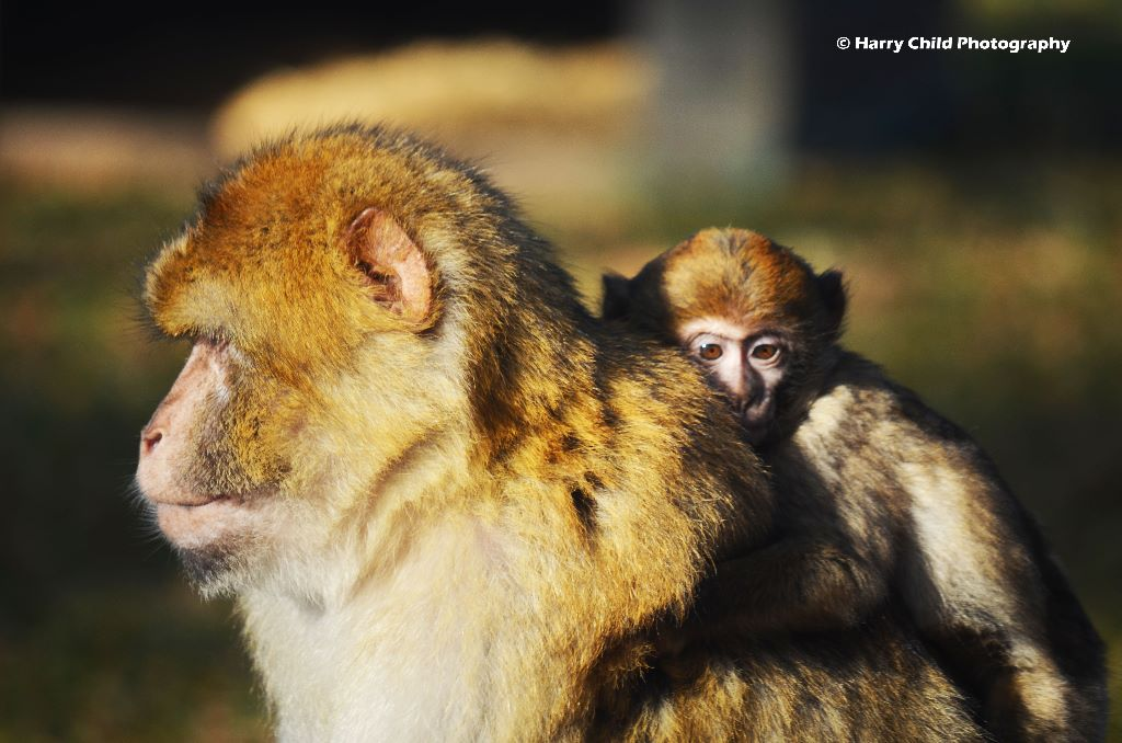 Macaque and Infant