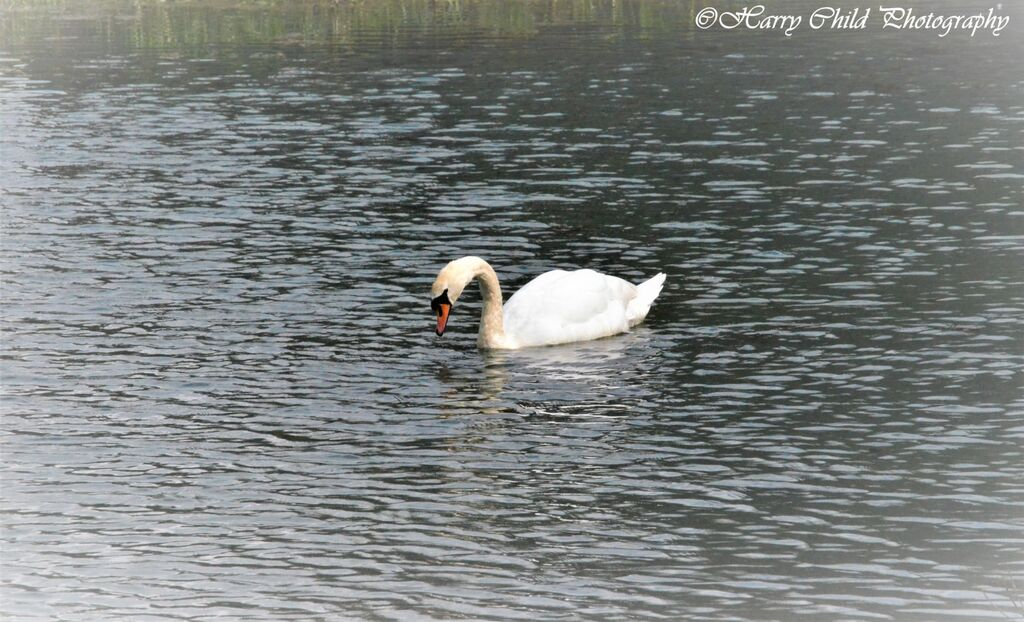 Majestic White Swan