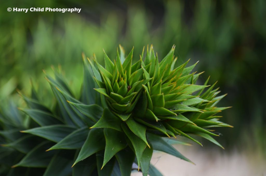 Monkey Puzzle Tree Branch 1