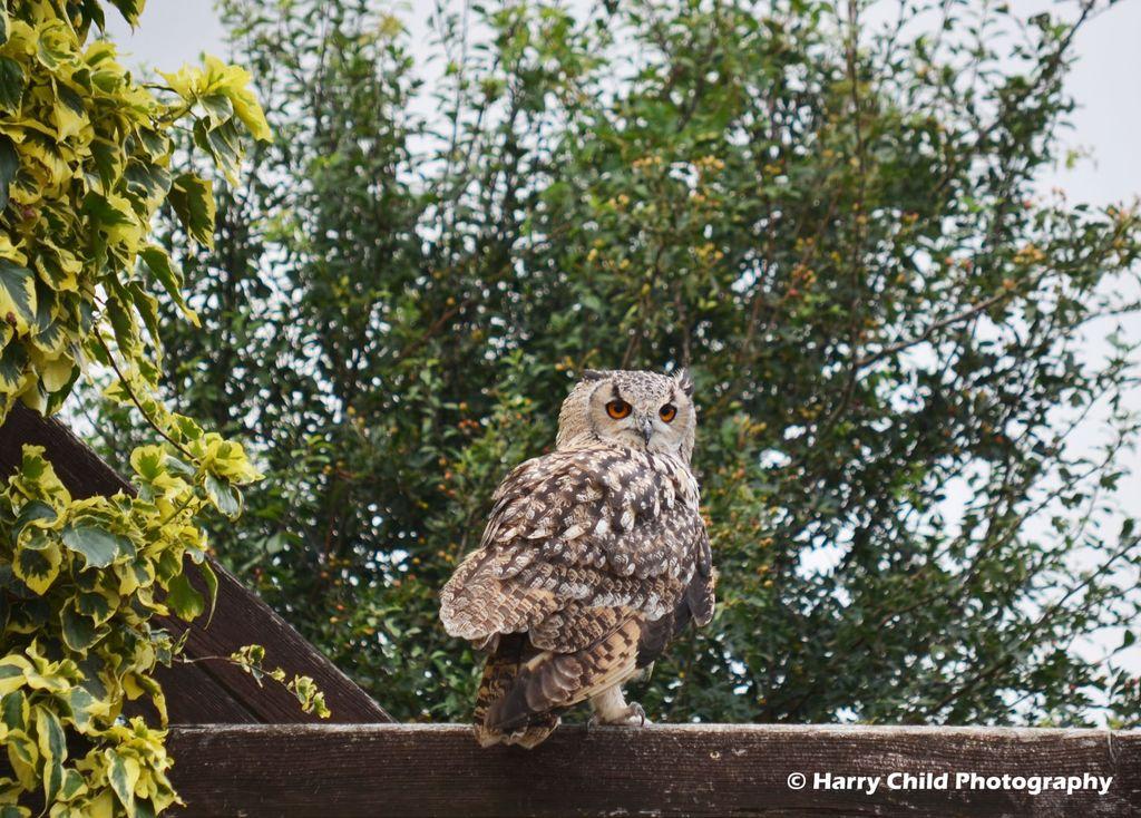 Siberian Eagle Owl 10