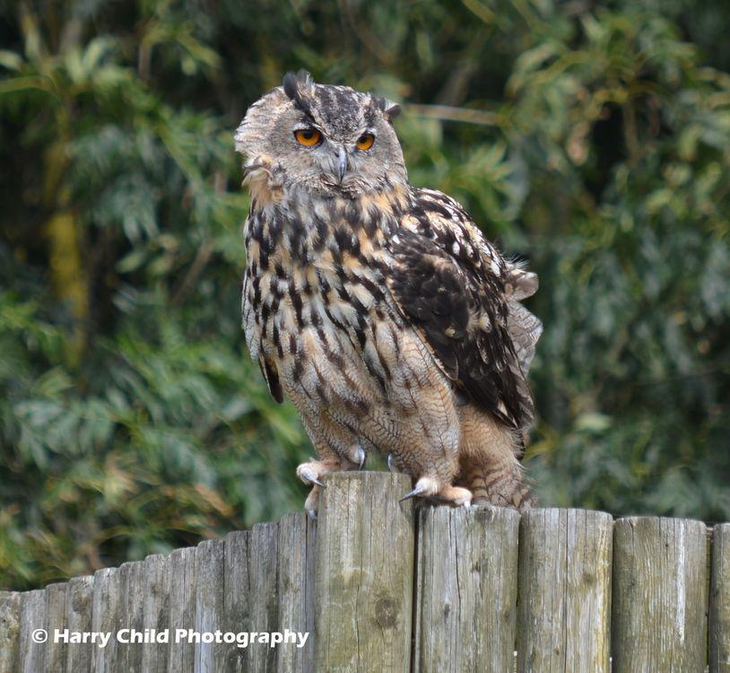 Siberian Eagle Owl 12