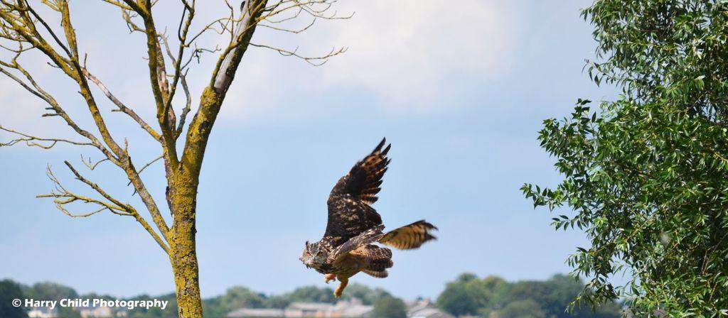 Siberian Eagle Owl 13