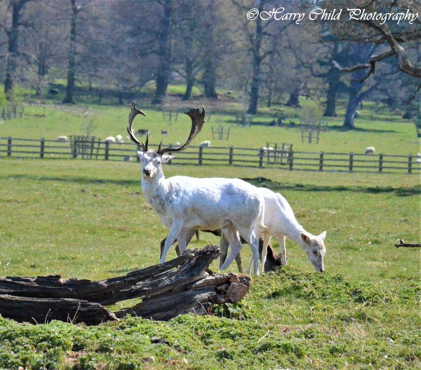 The Alpha White Deer