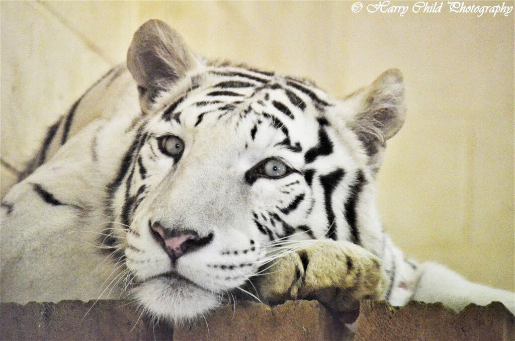 The Glaring White Tiger