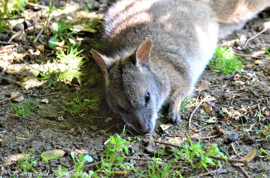 The Sleeping Wallaby