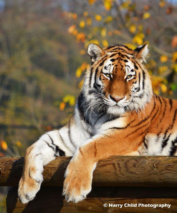 Tigress 2