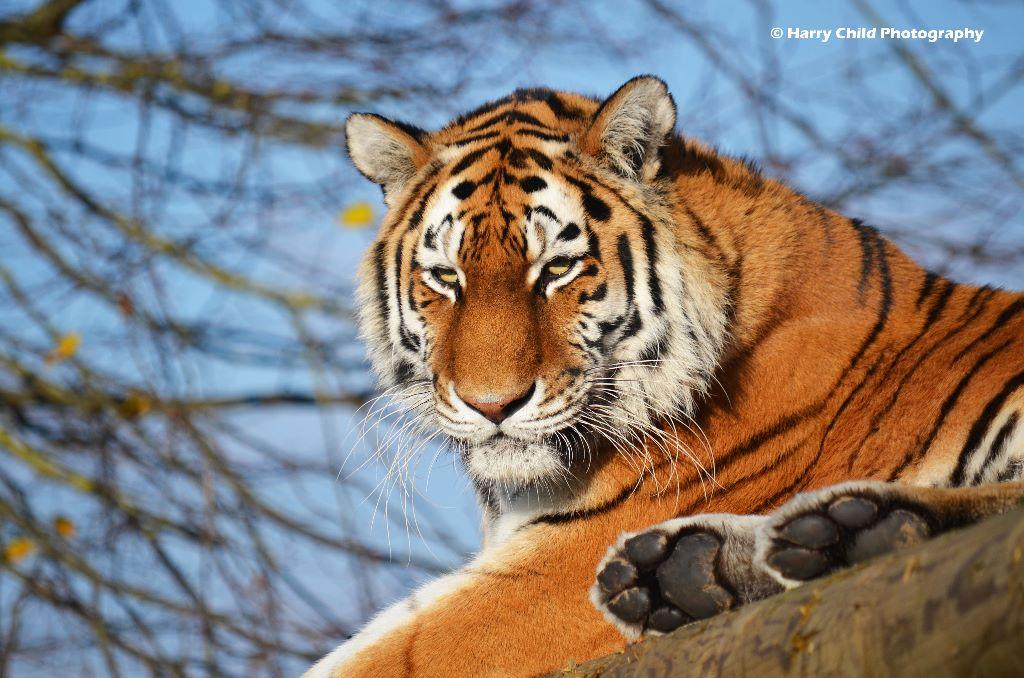 Tigress 6