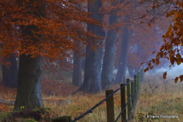 Beeches in the Mist -West Isley Oxon