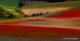 Poppy,s  Farnbrough Valley Oxon.