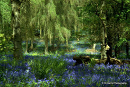 The old Bluebell Wood Oxon