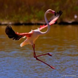 So  Gracefull  For  a  big  bird