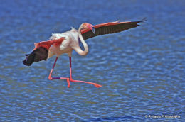 Greater  Flamingo  about to land