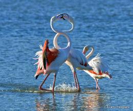 Male Flamingo,s Greeting