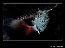 Victoria  Crowned  Pigeon  Displaying