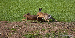 Brown  Hare,s pairing up