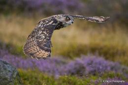 European  Eagle Owl 1