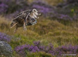 European Eagle Owl 2