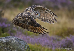 European Eagle Owl 4