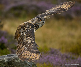 European Eagle Owl 3