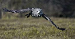 Great Grey Owl no2