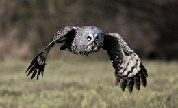 Great Grey Owl  no1