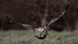 Great Grey Owl no3