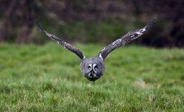 Great Grey Owl no 6