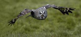 Great Grey Owl   no5