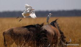 Cattle egret namibia