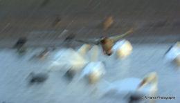 Duck over Swans