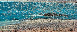 Tern,s Cape Cross