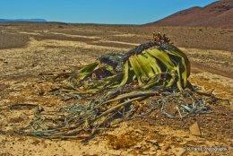 Namibia,s National Flower (Welwitschia)