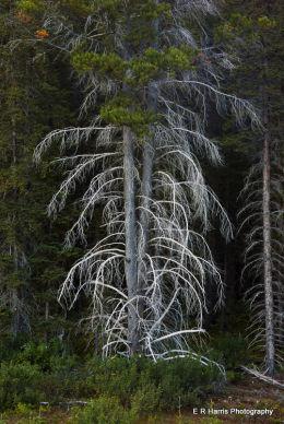 Ghost  Fir Spraylakes trail  BC